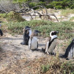ボルダーズビーチでヨチヨチ歩きの親子ペンギンに癒されよう