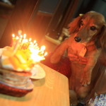 Marley a miniature Dachshund that 14-year-old's birthday party in yakiniku scalar