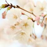 Miyakoda 研究園,滿滿的一隻腳向前和櫻花櫻花觀賞野餐通過蔥郁綠色