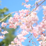 Weeping in full bloom at the Yoshida House while Japan garden with cherry blossom
