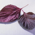 紅紫蘇葉汁和新鮮的口味在夏天熱預防和飲食