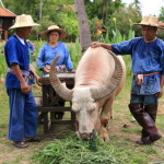 """Dhara Dhevi Chiang Mai' vast paddy fields Buffalo riding experience!"