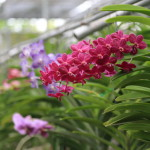 「バイ オーキッド&バタフライファーム」美しい色とりどりの蘭や蝶の舞い